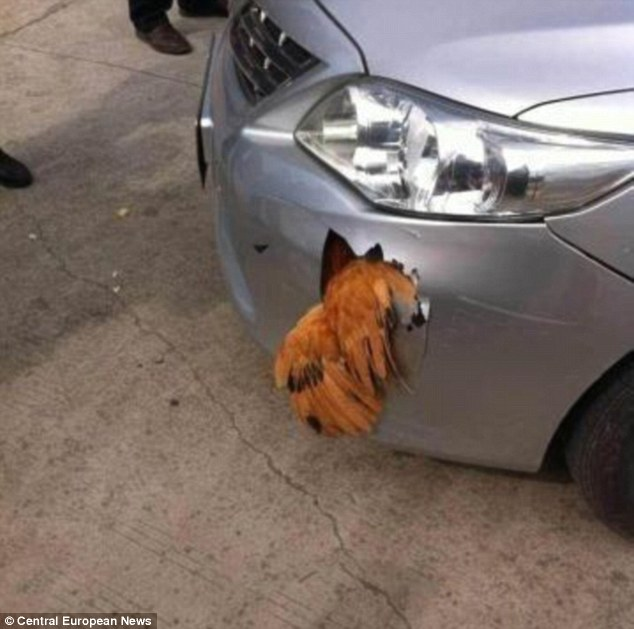 Stuck: The man behind the wheel said he heard a 'sickening thud' before stepping out to see the brid wedged in the front of the car