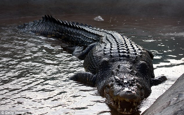 Ancient skills: The saltwater crocodile uses the same hunting style as its ancestors did in the age of dinosaurs