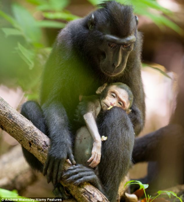 Heartbreaking: A female macaque cradles her dead newborn baby in her arms at an Indonesian national park