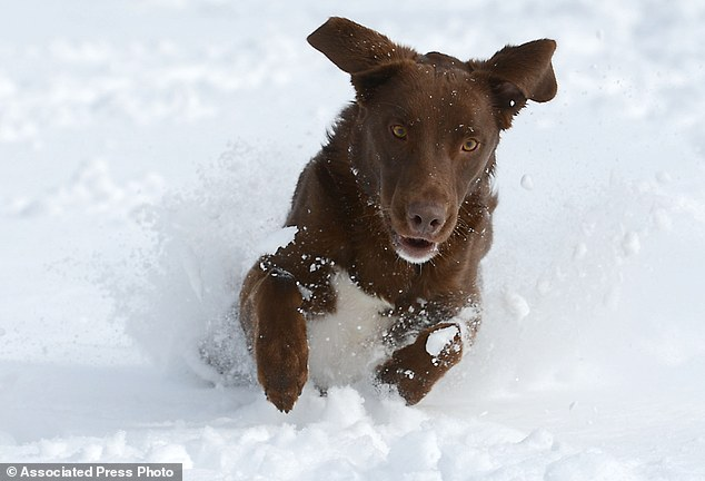 That's snow fun! A two-year-old chocolate lab mix, gets ready to pounce on a tennis ball at City Park in Fort Collins, Colorado on Monday