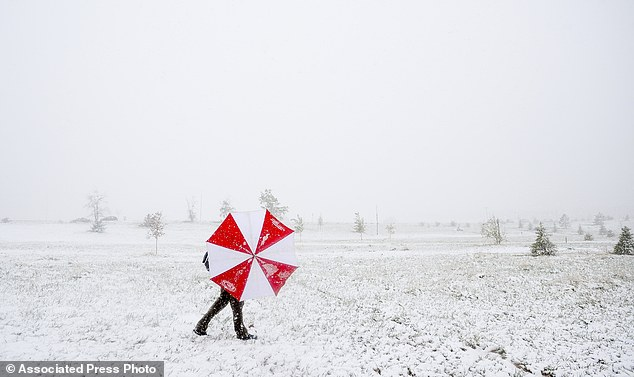 Spring storm: A man shields himself from the snow and wind with an umbrella on Sunday at Aggie Greens in Fort Collins, Colorado
