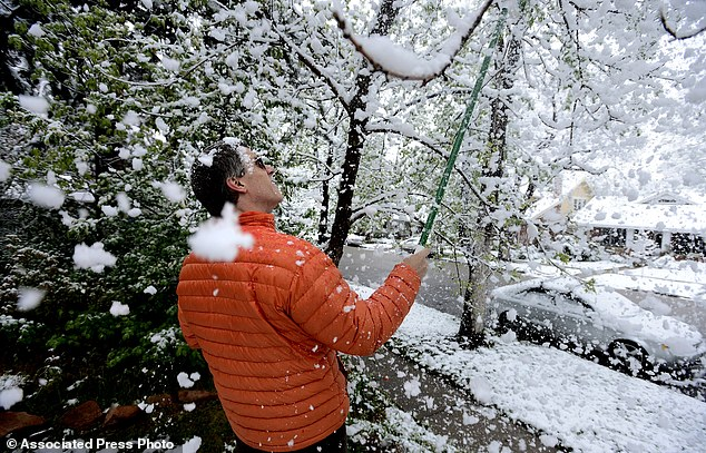 Playing in the snow: Colorado resident Brian Pryor takes a shower of snow as he clears the tree limbs in front of his home on University Hill in Boulder