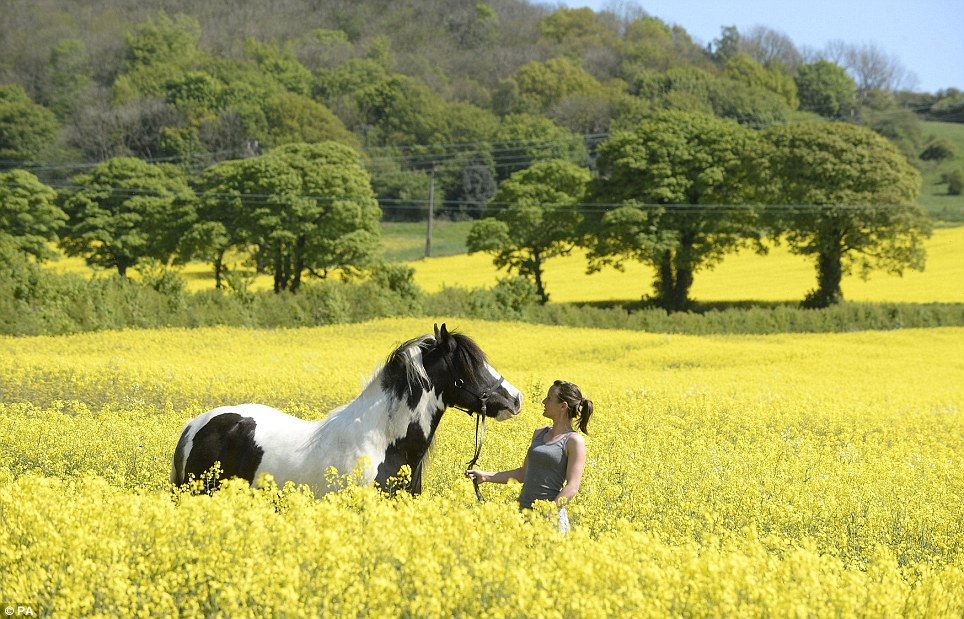 Soaking up the sun: Kym Teasdale leads her horse through a field of oil seed flowers in Washington, Tyne and Wear today. The South will experience the bulk of the fine weather on Saturday, with clear skies and temperatures in the mid-20s for most of the weekend