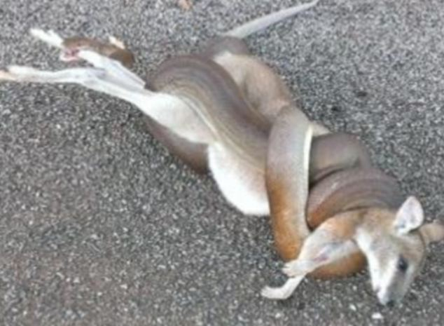 The olive python wraps itself around the stricken wallaby, suffocating it before dragging it away