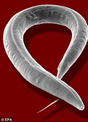 AKG can increase the life expectancy of the worm, Caenorhabditis elegans (pictured) by up to 50 per cent