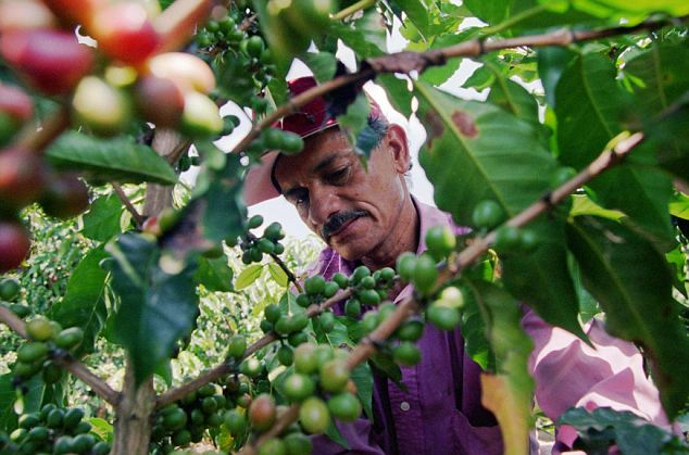 Fears: Aside from fears for the price of a cappuccino on the American high street, experts' chief concern is for the economic security of the mostly small, family-run farms in South America