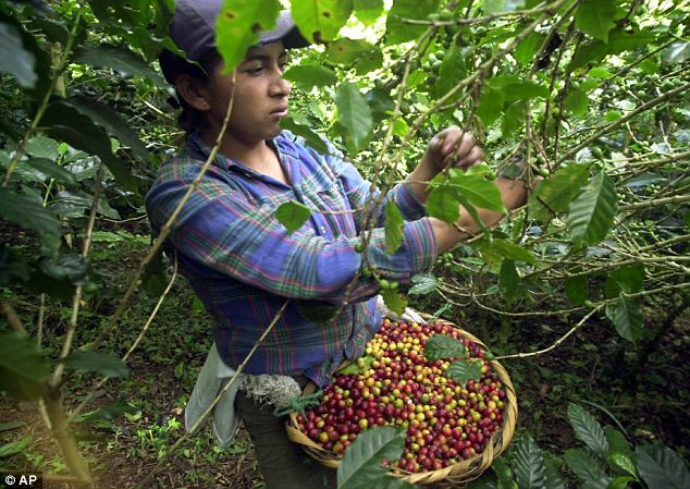 Coffee picker: Coffee rust, or roya, is a yellow and orange-colored fungus that has ravaged coffee harvests from Mexico to Peru over the past two years, causing more than $1 billion in damage across Latin America