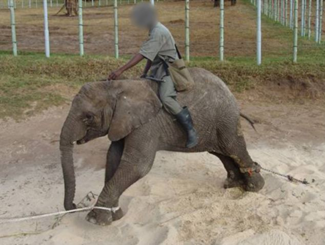 A frame from the video shows a man riding on to the back of a young elephant. The animal's back leg is chained down while its front leg is roped up and stretched forward