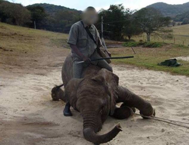 A baby elephant seemingly buckles under the weight of the man on its back as ropes are lashed on to its feet
