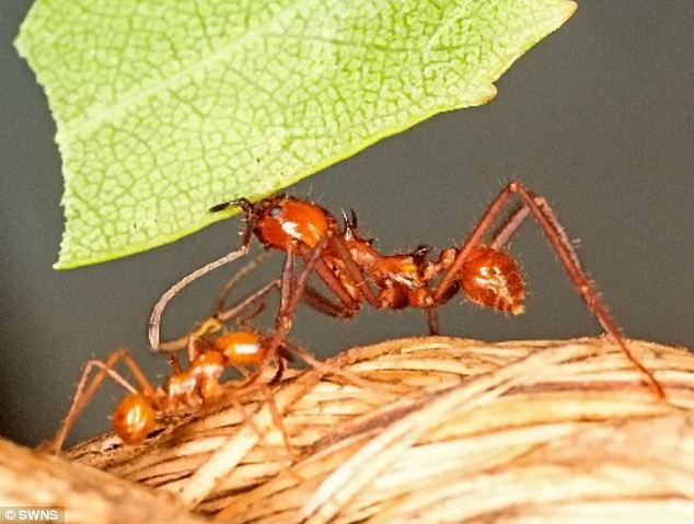 Disaster: Britain's biggest colony of leafcutter ants has self-destructed after chewing through a power cable in its tank. Above, a worker ant at Butterfly World near St Albans, Herfordshire, where the incident happened