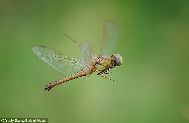 Mid air: A dragonfly flies glides through the air in the image which was taken a couple of feet off the ground