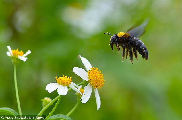 Light snack? This insect seems to be suspended in mid-air as it plots its next move to find pollen
