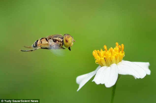 Dinner time: This bee's wings can be seen in full motion as it spots a delicate flower with white petals