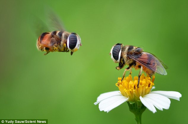 Fancy seeing you here: Two bees hover over a pollen-rich flower and stare directly at each other