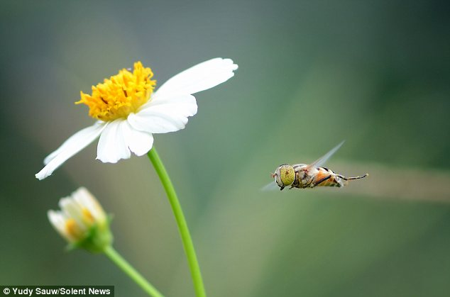 In a hurry? This bee looks as though it's in a rush to get to the pollen in the images caught by Yudy Sauw