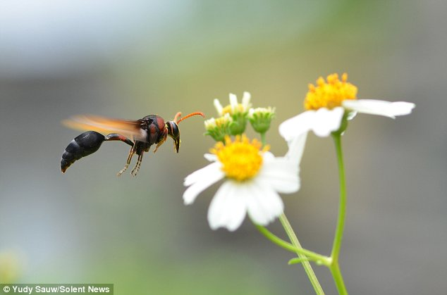 Clear for landing: This insect is on direct course to land on a pretty white flower