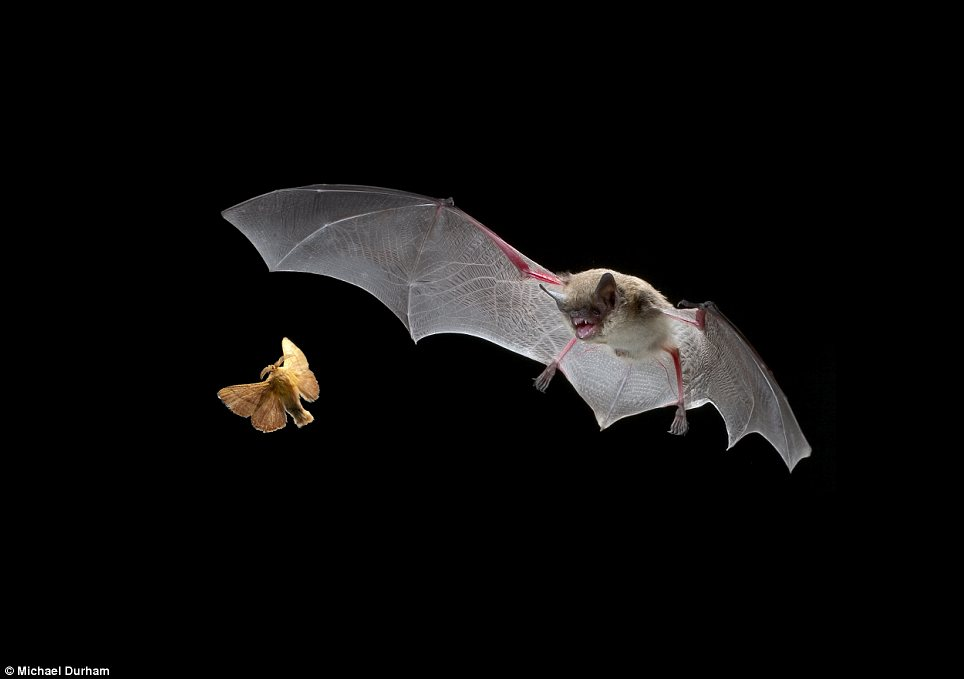 Prey: This small bat echo has located a flighty moth as it gets ready to strike in pursuit of its prey
