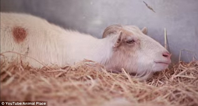 Isolating: A 10-year-old goat named Mr G refused to eat or move for four days after being separated from his burro friend Jellybean