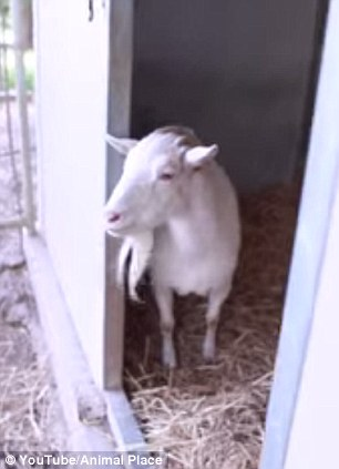 Surprise: Mr G finally perked up when he saw his old-friend Jellybean entering his pen at the Animal place shelter