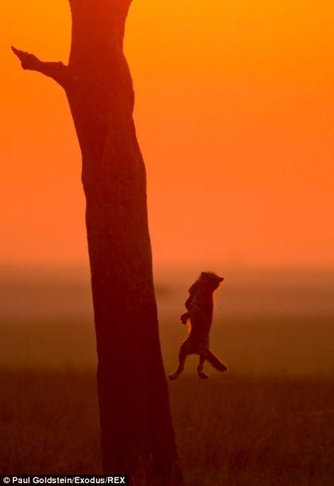 Cheetah cub jumps from tree at sunset