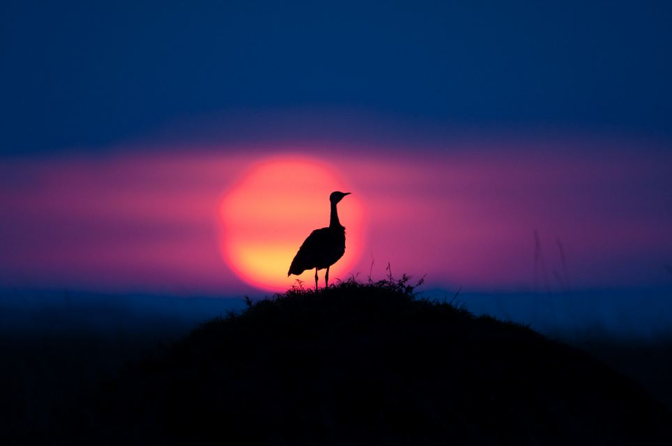 A photographer has shared his stunning gallery of African sunrises and sunsets. Pictured: Black bellied bustard at sunset