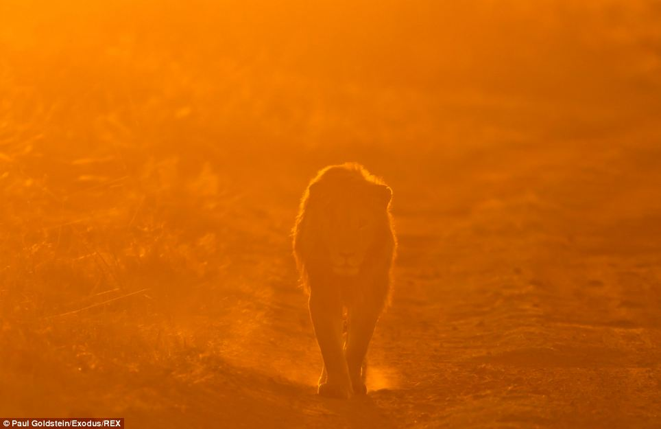 A lion looks directly at Mr Goldstein's camera as he prowls around in the dust at sunset