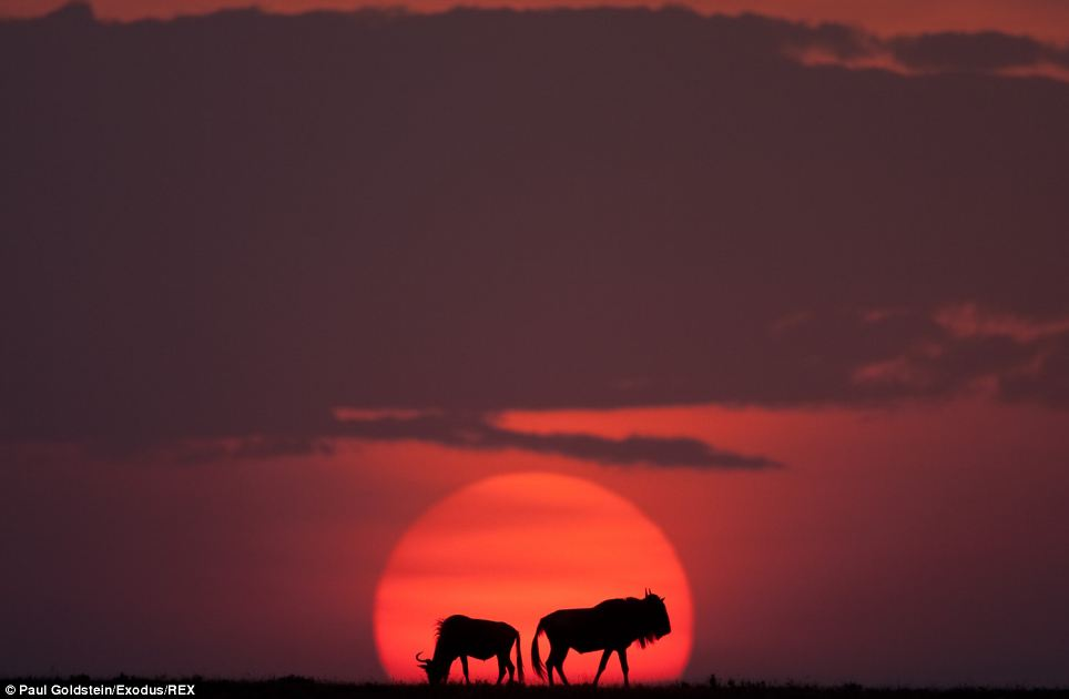 A pair of wildebeest form stunning silhouettes against a red sun and dark maroon sky