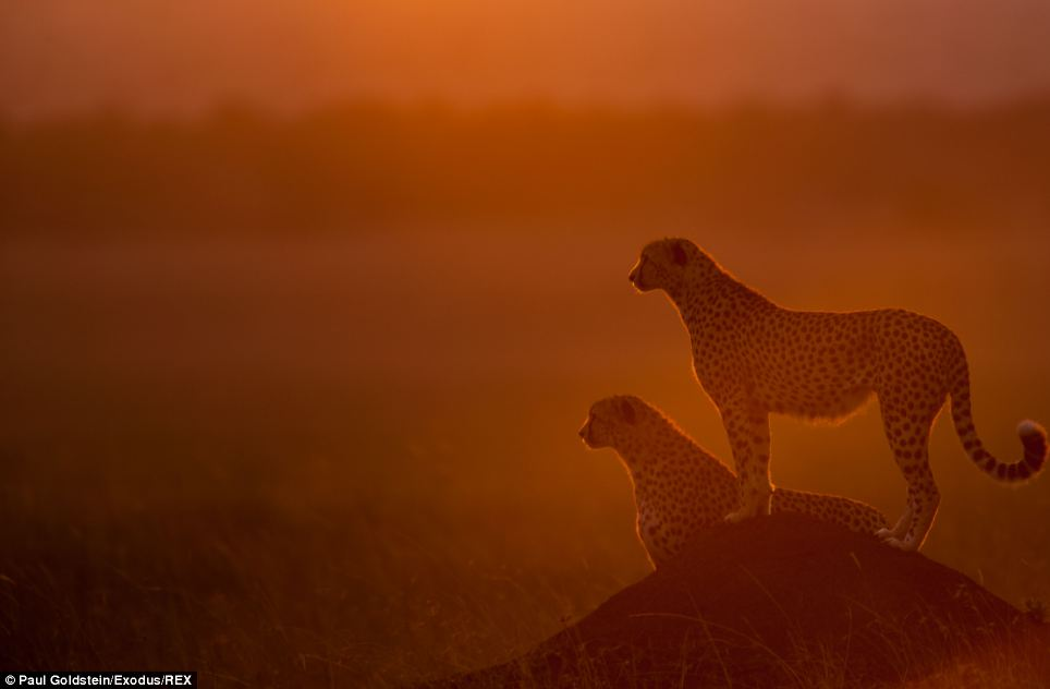 A pair of cheetahs look out across the vast and hot expanse of the Masai Mara