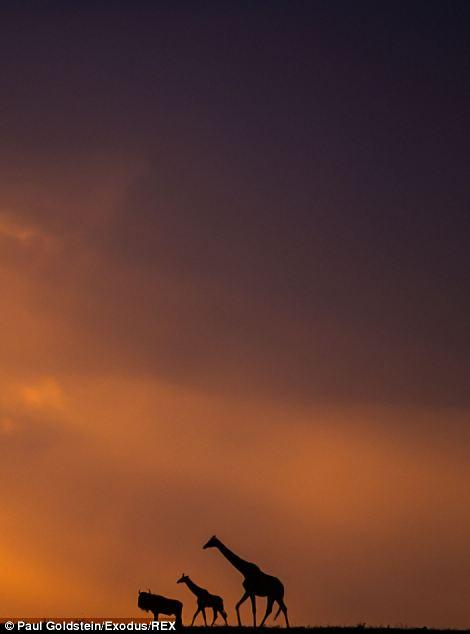 Wildebeest and giraffes at sunset