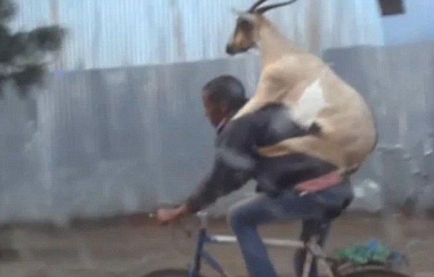 Needs must: A man has been filmed cycling down a busy road in Addis Ababa while giving a goat a piggyback