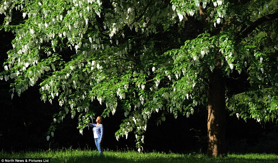 Pretty: Visitors to Redworth Hall Hotel in County Durham look at a 'handkerchief tree'- named in recognition of the large white flowers that cascade from the branches