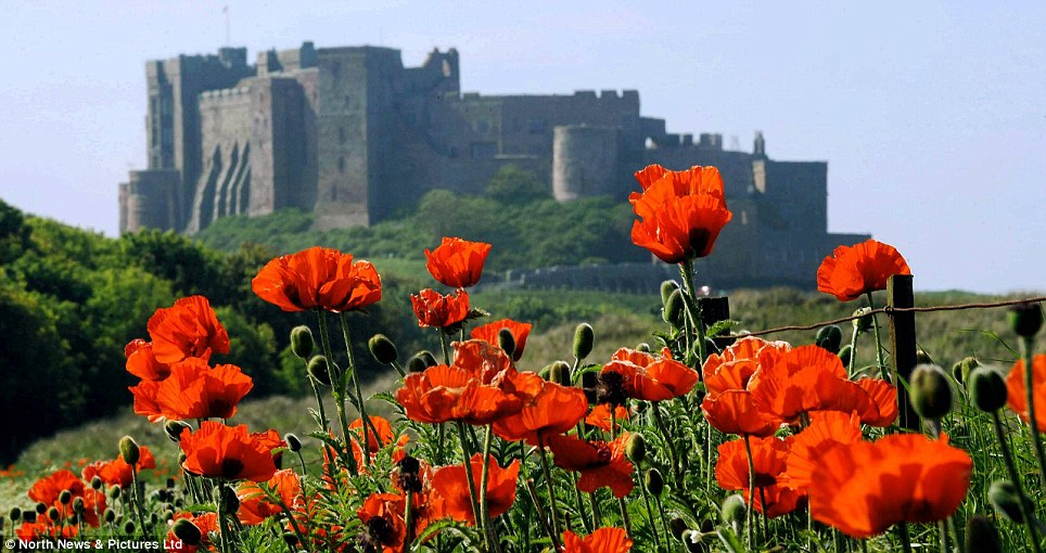 Colourful: Wild poppies add a touch of colour along the sand dunes near Bamburgh Castle in Northumberland on the North East coast