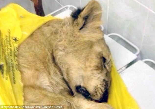 A lion cub ran amok in a train travelling through Russia after its owner pretended she was carrying a 'domestic cat'