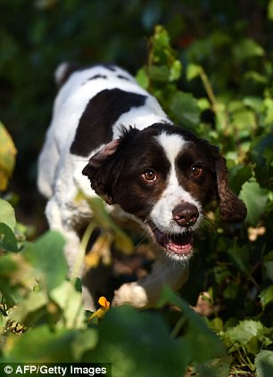7 year old English Springer Spaniels, Tito and Muzzy, who led the search for April Jones in 2012 are in Portugal