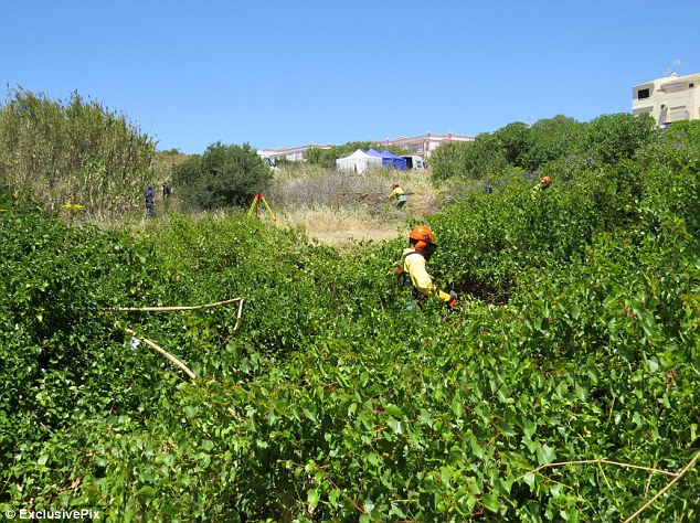 Clearance: Workers came with garden equipment to cut back the large amounts of vegetation, with one person almost hidden from view because it has grown so high