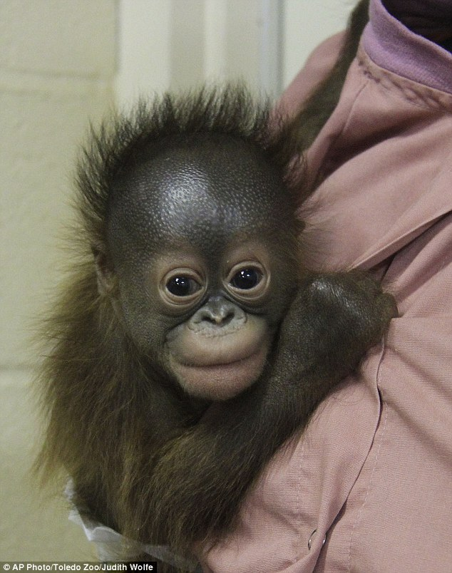 There's a new orangutan at the Milwaukee County Zoo. Four-month-old Kecil arrived at the zoo on  May 19. He came from the Toledo Zoo because he could not bond with his mother.