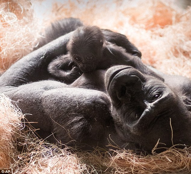 A new bond: Baby Kecil is being moved from the Toledo zoo to Milwaukee where he will be cared for by M.J., a surrogate mother. (Pictured here, baby Kassiu, a gorilla who died last year and his mother Naku at Milwaukee Zoo)