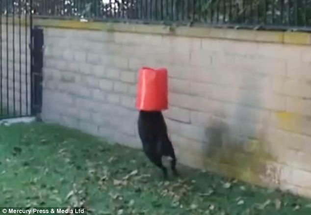 In a series of amusing scenes, the excitable dog can be seen jumping into water to fetch the bucket and running with his head inside the plastic item