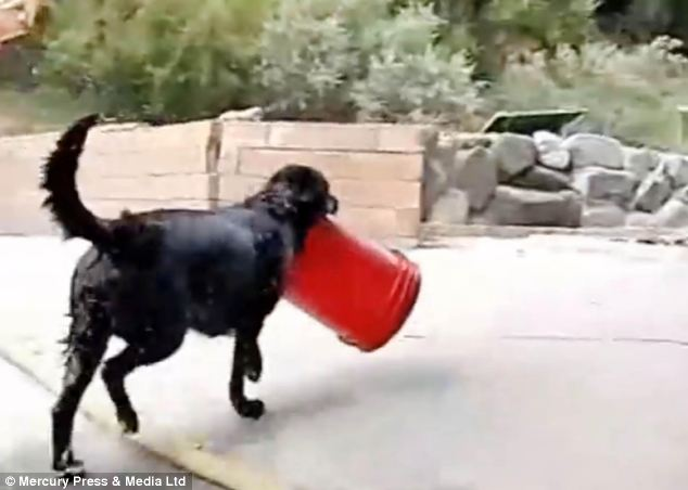 Mr Dooley said: 'My mum talked about wanting a video to remember him by and we agreed the world needs to know how awesome Charcoal is playing with his bucket'