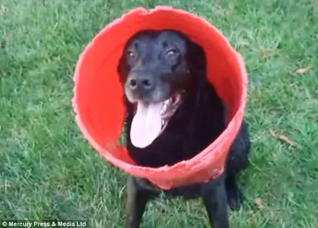 Labrador Retriever Charcoal has become an internet hit after a video of him playing with a red bucket was posted online