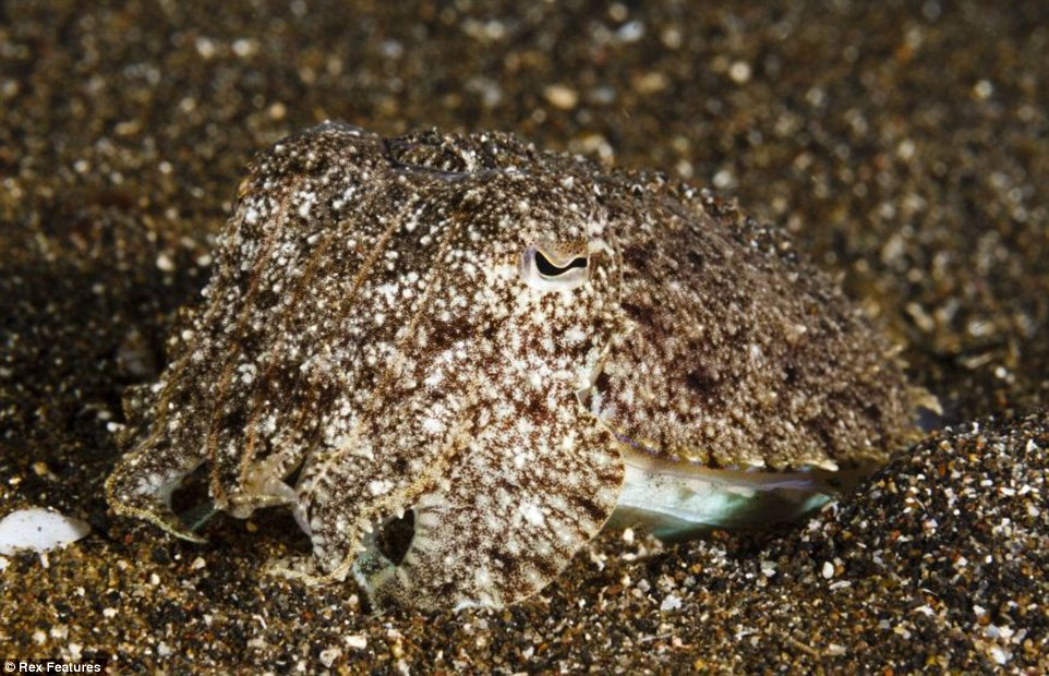 """MANDATORY CREDIT: Ed Brown/Rex Features. IMAGES OUTSIDE OF PRINT VERSION NEWSPAPER SUBSCRIPTIONS. FEES APPLY FOR UNIQUE IPAD USE.  Mandatory Credit: Photo by Ed Brown/REX (3785761h)  Needle cuttlefish - Sepia aculeata, almost perfectly camouflaged against the sand  Spot The Critter: Camouflaged Sea Creatures  Can you spot the critter?    These amazing images show the lengths - or is that depths? - these undersea creatures go to disguise themselves.    British photographer Ed Brown captured these pictures last month at Lembeh Strait in Indonesia.    He explains: """"The pictures were taken on my latest trip to Indonesia, a place called Lembeh Strait, well known to divers for having some of the best """"muck diving"""" in the world. Muck diving can be characterised by the black sand and general bleakness of the seabed. It doesn't look much, but hides some of the weirdest critters you'll find underwater. The occasional coral outcrops house some of the more colourful examples; the pygmy seahorse (H"""