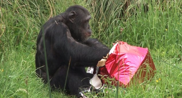 Ooh bananas, my favourite! The other chimp tears into its brightly packaged present excitedly