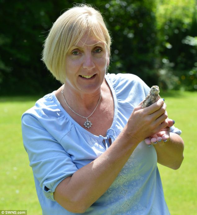 Before and after: Mandy Clayton, 49, left a packet of Waitrose quails' eggs in her kitchen - and one hatched