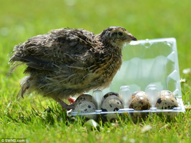 Shock: Mandy Clayton bought the little speckled delicacies for a salad but had some left over but didn't expect them to hatch. Naming the bird Rose, she has now welcomed her into the family and bought more quails as well