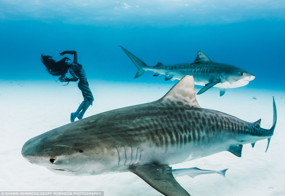 Giant beasts: Tiger sharks can grow up to 16ft long and hunt at night for fish, seals, bird and turtles in warm tropical waters