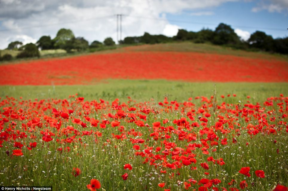 With the sun shining and regular rainfall in recent weeks, these poppies are in full bloom at Blackstone Farm Fields Nature Reserve near Bewdley, Worcestershire. Although there could be some showers in the midlands over the weekend, conditions are due to be settled well into next week