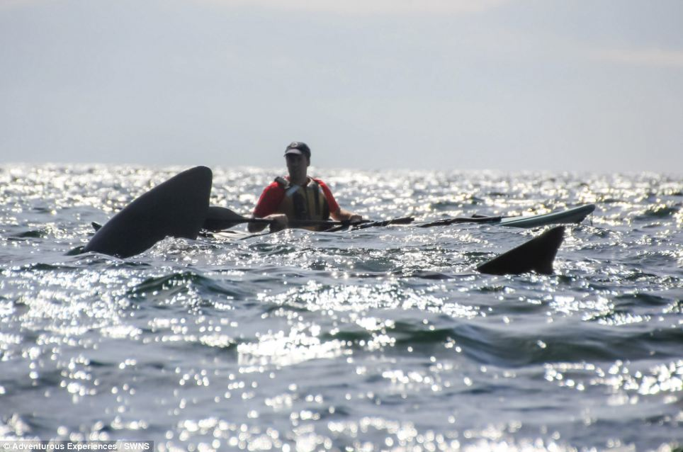 John Keggin took advantage of the glorious conditions to head out to sea. But he got more than he bargained for as a giant basking shark swims past his kayak off Port Erin on the Isle of Man