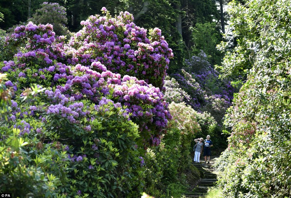 In bloom: The sprawling estate was once the home of Victorian inventor Lord Armstrong - and was the first house in the world to be lit by hydroelectricity