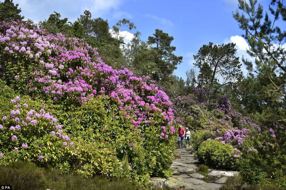 Flora: The grounds of the National Trust estate feature one of the largest rock gardens in Europe, as well as Nelly's Labyrinth, a network of paths and tunnels cut out of a vast area of rhododendron forest