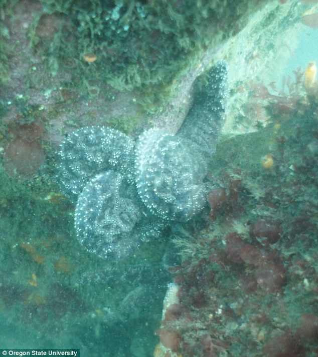 Once infected, a sea star might tear its body apart until it has completely disintegrated